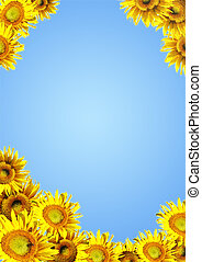 Sunflowers - Yellow sunflowers on background of blue color