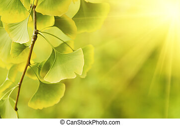 Leaves of Ginkgo Biloba - Green and yellow fall leaves of...