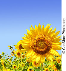 Sunflowers - Yellow sunflowers and blue sky