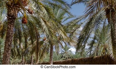 Tunisia, date palm cultivation