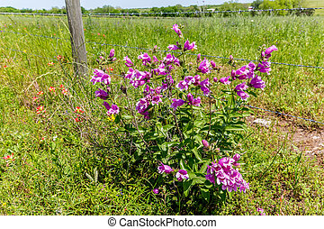 Fence with Texas Wildflowers - A Fence with Purple...