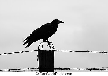 Crow on the barb wire fence - Silhouette of crow sitting on...