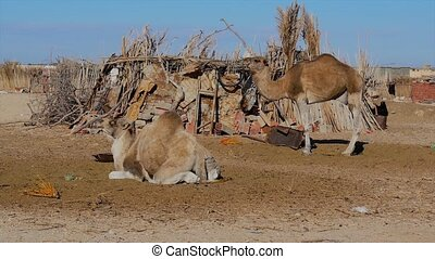 sahara desert, dromedary camel - The dromedary, also called...
