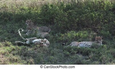 Cheetahs together in shade - Four Cheetahs lying together in...