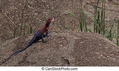Mwanza Agama sunbathing on a rock