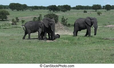Elephant family around waterhole - Elephant baby with mother...