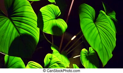 Colocasia leaves texture backlit - Colocasia leaves with...