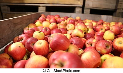 lot of red apples