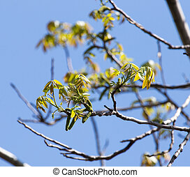 flowers on the branches of a walnut tree