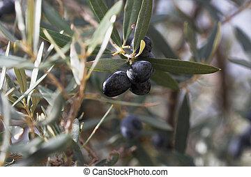 olives on branch