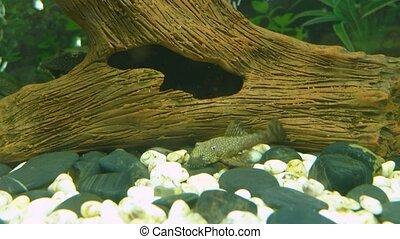 Aquarium Fish Bushymouth catfish (Ancistrus dolichopterus) near bottom