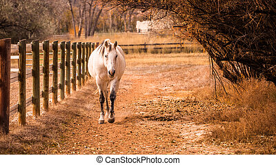 Fall Trotting - A fall shot of a white horse trotting along...