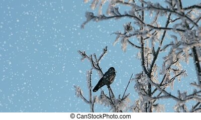 raven on a snow covered tree - Crow on a snow covered tree...