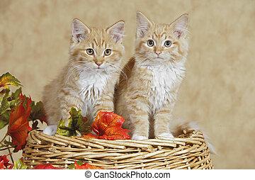 Two Ginger tabby Kitten - Two Kitten ginger tabby sitting...