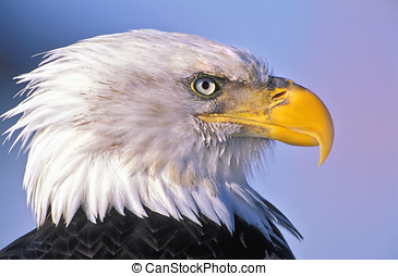 Bald Eagle adult bird, portrait Head closeup