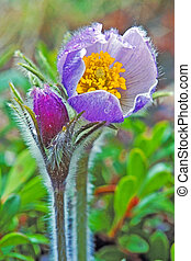 Pasque Flower - closeup of Pasque Flower or Lion's Beard
