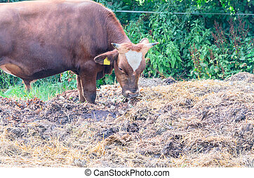 Breeding bull with eartag - Breeding bull with horns and ear...