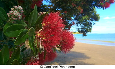 Pohutukawa red flowers blossom on December