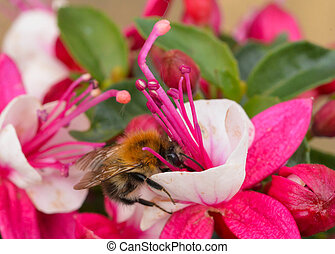 Bee Pollinating Fuchsia - Macro photograph of a single...