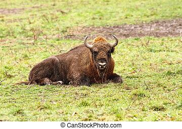 european bison, Hateg, Romania Bison bonasus