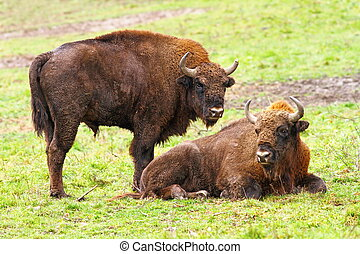 european bisons on green grass Bison bonasus