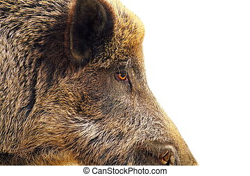 isolated closeup of a wild hog ( Sus scrofa ) with place for...