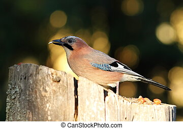 jay eating seed at birdfeeder - common eurasian jay eating...