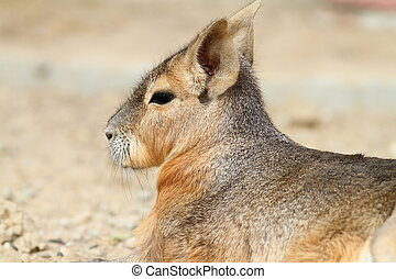 portrait of patagonian cavy