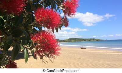 Pohutukawa red flowers blossom on the month of December over...