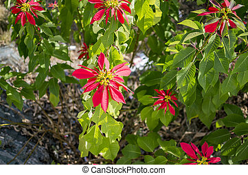 Poinsettia christmas flowers with green leaves