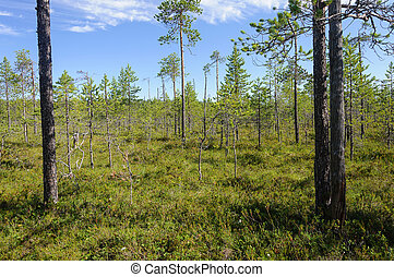 Pine trees in swampy tundra, Karelia - Pine trees in swampy...