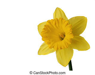 Daffodil - single daffodil on white background with room for...