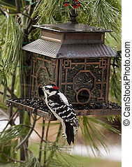 Woodpecker at Birdfeeder - Black white woodpecker feeding at...