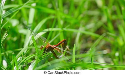 Red dragonflies mate among the blades of grass