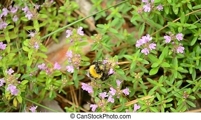 Bumblebee gathers pollen from wild thyme flowers