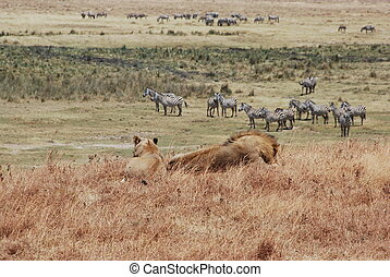 Lions I - Lions and zebras in Africa