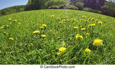 glade of dandelions