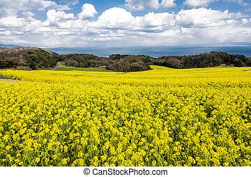 Cole flower field - Seaside cole flower field under sky with...