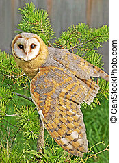 Barn Owl wings spread - Barn Owl sitting in pine tree, wings...