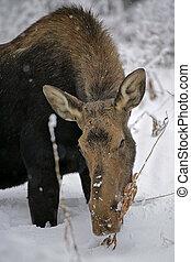 Moose in deep snow - Moose Cow feeding on plant in deep...