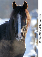 Black Arabian Stallion Head portrait closeup