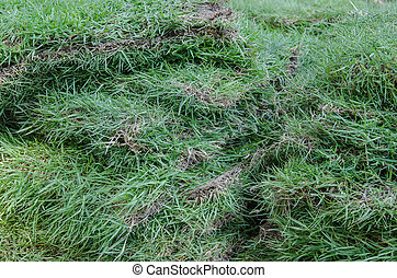 Sheet grass for planting in the garden