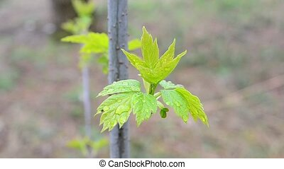 Young leaves of box elder tree swaying in wind - Acer...
