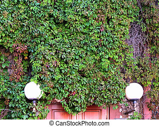 Parthenocissus quinquefolia, or grapes Virginia...