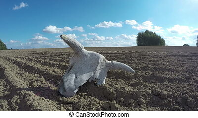 Cow skull in field, time lapse 4K - Weathered cow skull with...