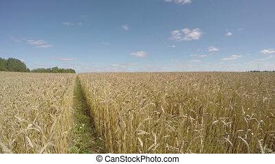 Field of wheat, time lapse 4K - Landscape of field of...