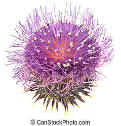 Thistle - Milk thistle on the white background