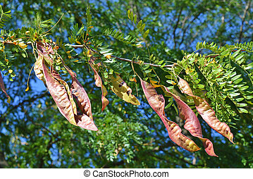 Acacia - Pod of Honey Locust tree