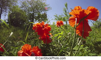 Orange poppies flowering, 4K - Orange oriental poppies...