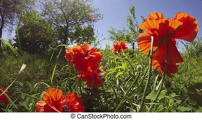 Orange poppies flowering, 4K